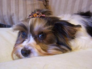 Learn about teacup yorkies